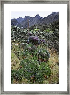 The Giant Lobelias (lobelia Bequaertii Framed Print by Martin Zwick