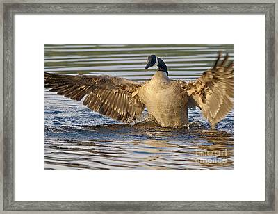 The Golden Goose Framed Print by Sharon Talson
