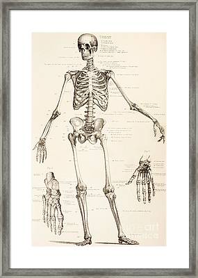 The Human Skeleton Framed Print by English School