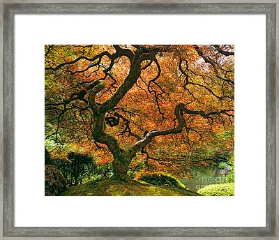The Japanese Maple Framed Print by Timm Chapman