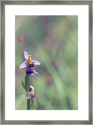 The Last Bee Orchid Framed Print by Victoria Hillman
