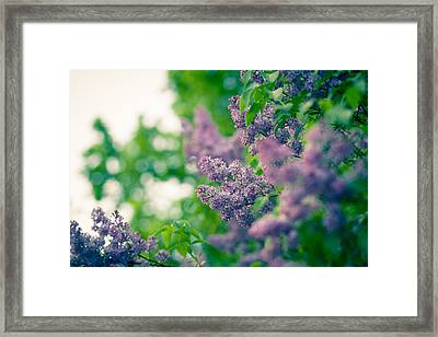 The Lilac Framed Print by Andreas Levi