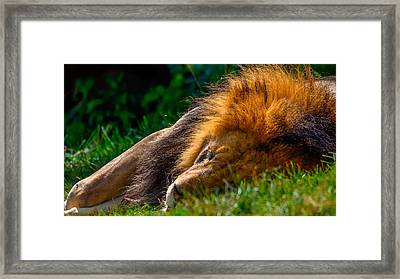 The Lion Sleeps Tonight Framed Print by Brian Stevens