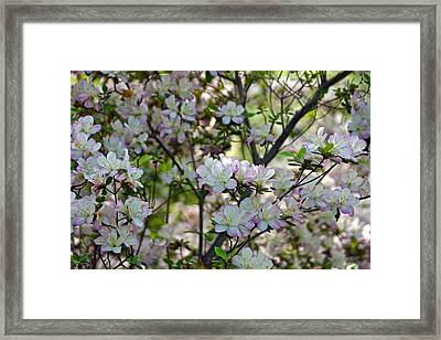 The Lovely Azaleas Framed Print by Byron Varvarigos