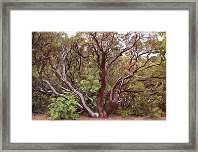 The Manzanita Tree Framed Print by Heidi Smith