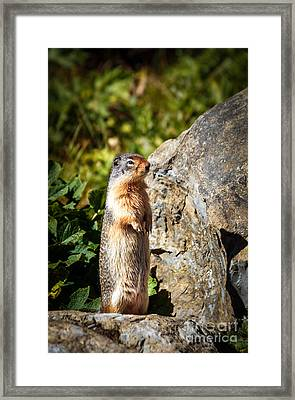 The Marmot Framed Print by Robert Bales