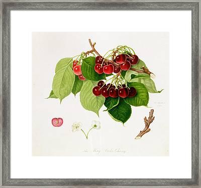 The May Duke Cherry Framed Print by William Hooker