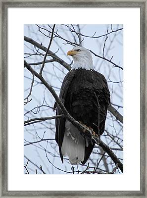 The Mighty Bald Eagle Perched On A Branch In Brackendale B.c  Framed Print by Pierre Leclerc Photography