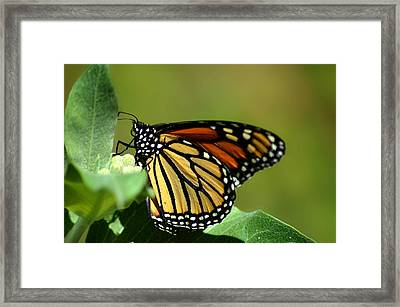 The Monarch Framed Print by Camille Lopez