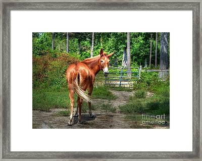 The Mule Framed Print by Kathy Baccari