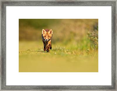 The New Kit On The Grass - Red Fox Cub Framed Print by Roeselien Raimond