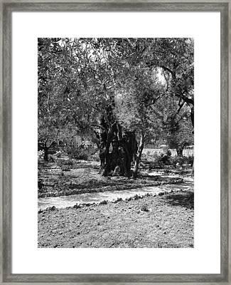 The Olive Tree At Gethsemane Framed Print by Sandra Pena de Ortiz
