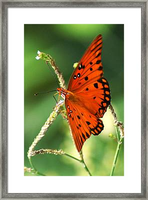 The Passion Butterfly Framed Print by Kim Pate