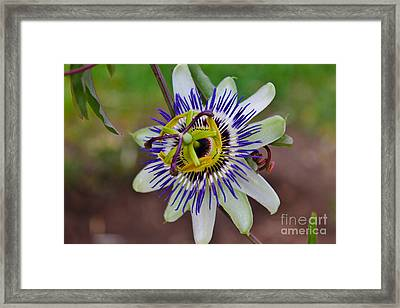 The Passion Flower Garden Framed Print by Janice Rae Pariza