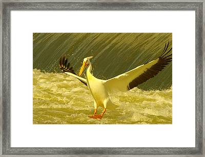 The Pelican Lands Framed Print by Jeff Swan