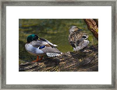 The Perfect Mallard Couple Framed Print by Sandi OReilly