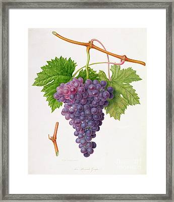 The Poonah Grape Framed Print by William Hooker
