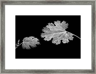 The Reach - Grape Leaf Anemone - Leaves - Black Background Framed Print by Nikolyn McDonald