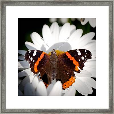 The Red Admiral Butterfly Framed Print by David Patterson