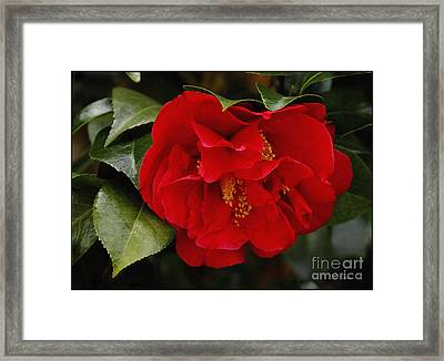 The Red Camellia  Framed Print by James C Thomas