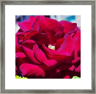 The Red Velvet Rose Framed Print by Jan Moore