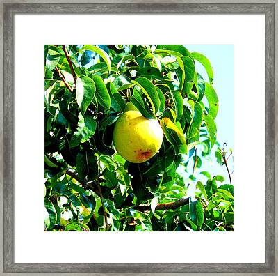 The Ripe Pear Framed Print by Kay Gilley