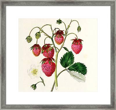 The Roseberry Strawberry Framed Print by Edwin Dalton Smith