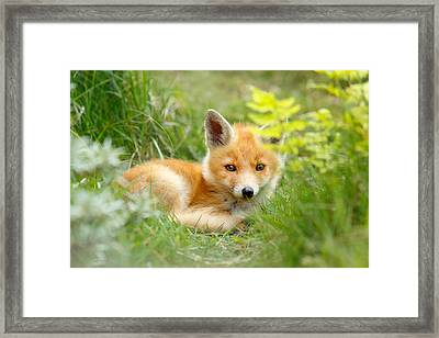 The Shy Kit Fox Cub Hiding Behind Some Ferns Framed Print by Roeselien Raimond