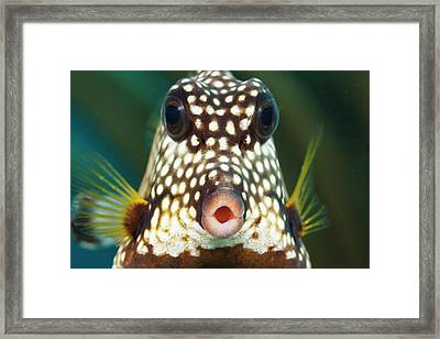 The Smooth Trunkfish  Lactophrys Framed Print by Dave Fleetham