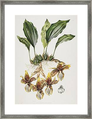 The Stanhope Tiger Orchid Framed Print by Maxim Gauci