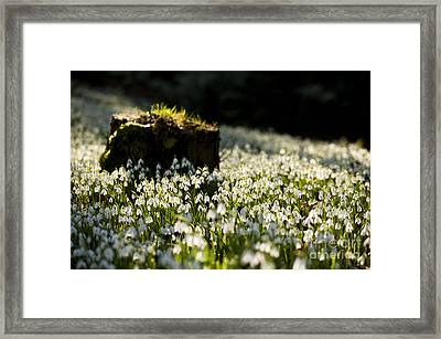 The Stump And The Snowdrops Framed Print by Anne Gilbert