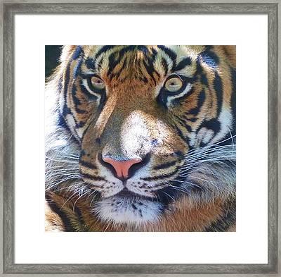 The Superb Sumatran Tiger Framed Print by Margaret Saheed
