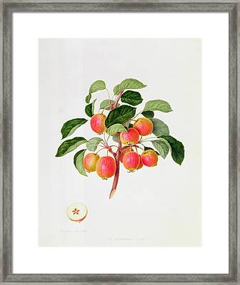 The Tartarian Crab Apple Framed Print by William Hooker