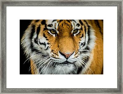 The Tiger Framed Print by Mirra Photography