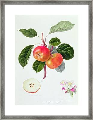 The Trumpington Apple Framed Print by William Hooker