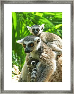The Twins - Ring-tailed Lemurs Framed Print by Margaret Saheed
