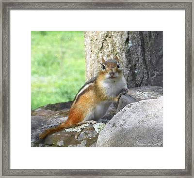 The Watching Chipmunk Reclines Framed Print by Patricia Keller