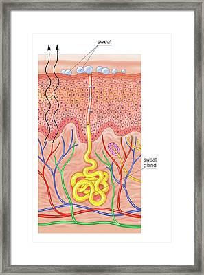 Thermoregulation Framed Print by Asklepios Medical Atlas