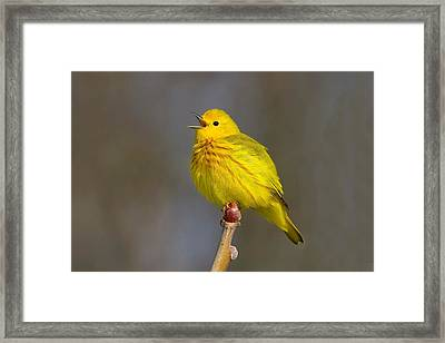 They Call Me Mellow Yellow Framed Print by John Absher