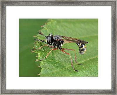 Thick-headed Fly Framed Print by Nigel Downer
