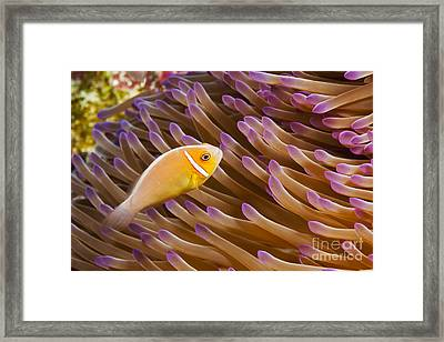 This Common Anemonefish, Amphiprion Perideraion, Is Most Often Found Associated With The Anemone, Heteractis Magnifica, As Pictured Here_ Yap, Micronesia Framed Print by Dave Fleetham