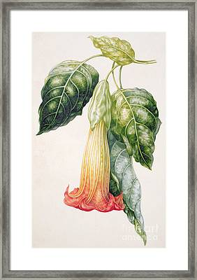 Thorn Apple Flower From Ecuador Datura Rosei Framed Print by Augusta Innes Withers