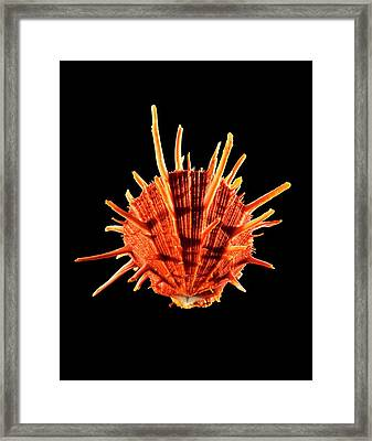 Thorny Oyster Shell Framed Print by Gilles Mermet