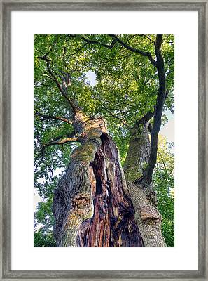 Thousand Year Old Oak Framed Print by EXparte SE