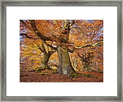 Three Ancient Beech Trees - Germany Framed Print by Martin Liebermann