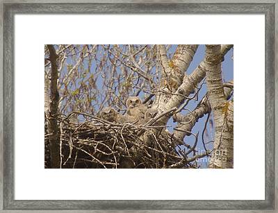 Three Baby Owls  Framed Print by Jeff Swan