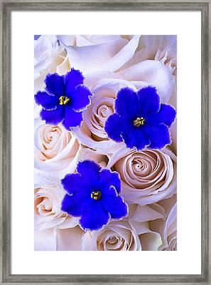 Three Blue Violets Framed Print by Garry Gay