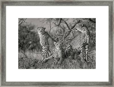 Camouflage Framed Print featuring the photograph Three Cats by Jaco Marx