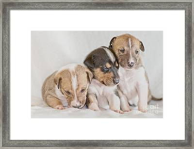 Three Collie Puppies Framed Print by Martin Capek