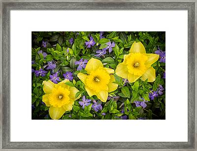 Three Daffodils In Blooming Periwinkle Framed Print by Adam Romanowicz